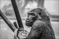gorilla-zoo-monkey-mammal-37548